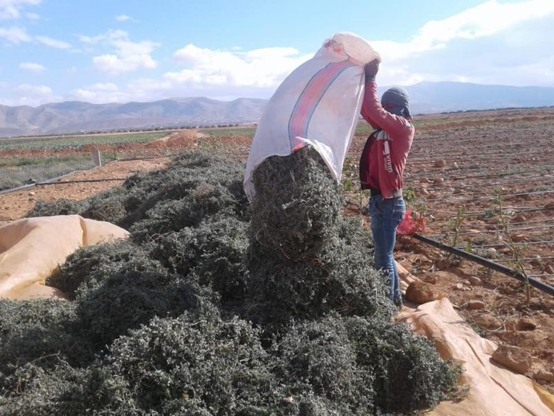 emptying bags of zaatar plants